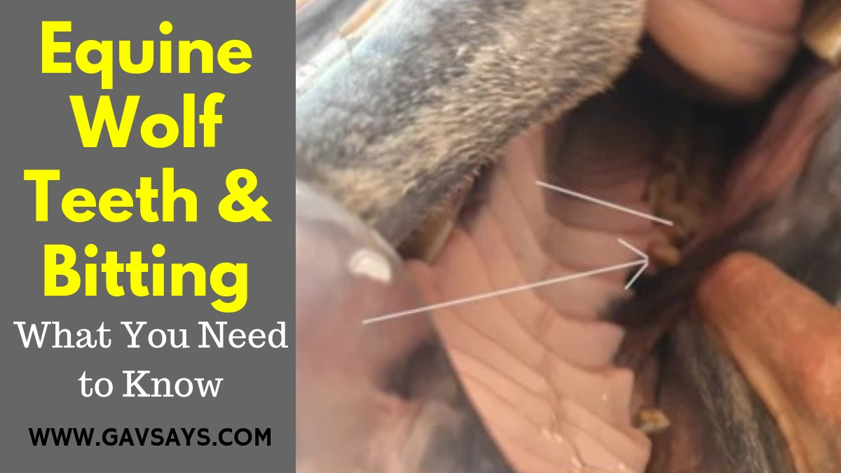 Equine Wolf Teeth & Bitting - What you need to know...